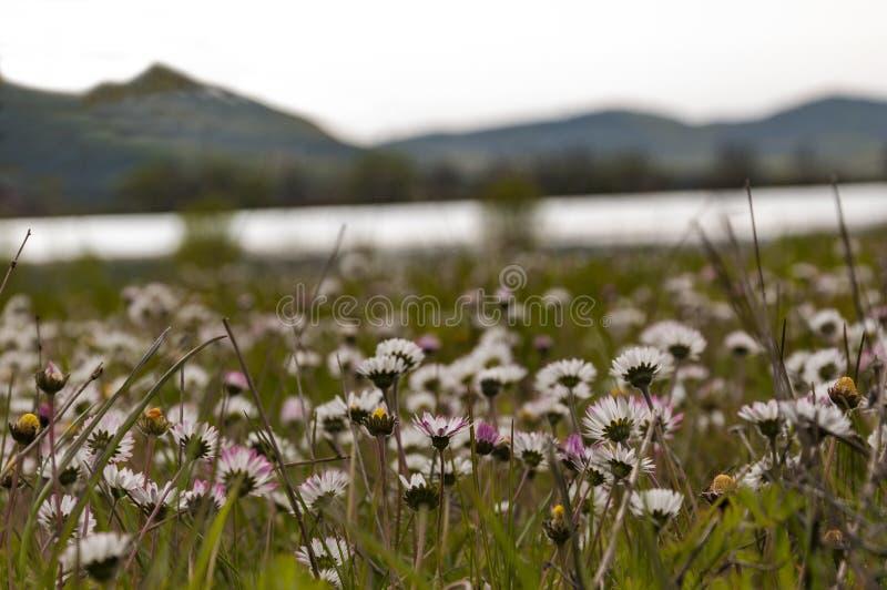 Un champ des fleurs blanches et roses sur le rivage du lac photographie stock libre de droits