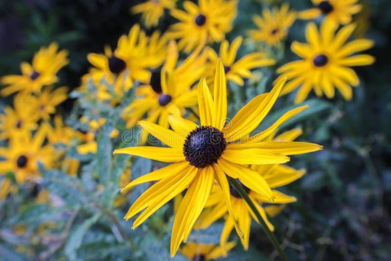 Un champ des fleurs jaunes lumineuses images libres de droits