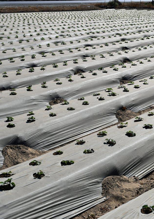 Un champ des fraises non mûres photo libre de droits