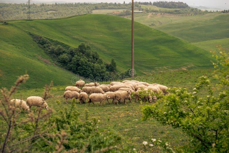 Un champ des moutons en Italie images libres de droits