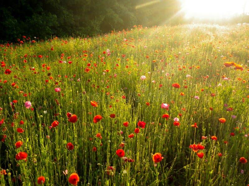 Un champ des pavots au coucher du soleil images stock