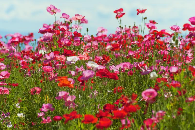 Un champ des pavots rouges, roses et cultivés photographie stock libre de droits