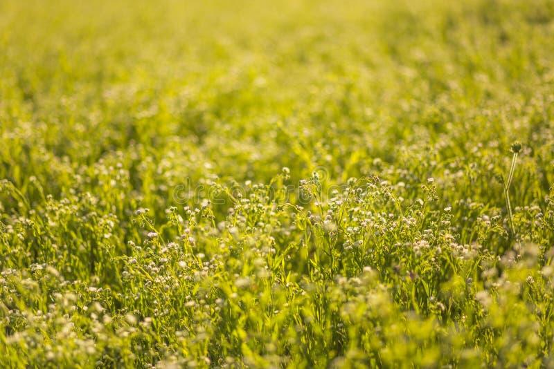 Un champ jaune avec un Melilotus, connu sous le nom de mélilot, trèfle des champs, et kumoniga, Usine de miel de l'Europe image libre de droits