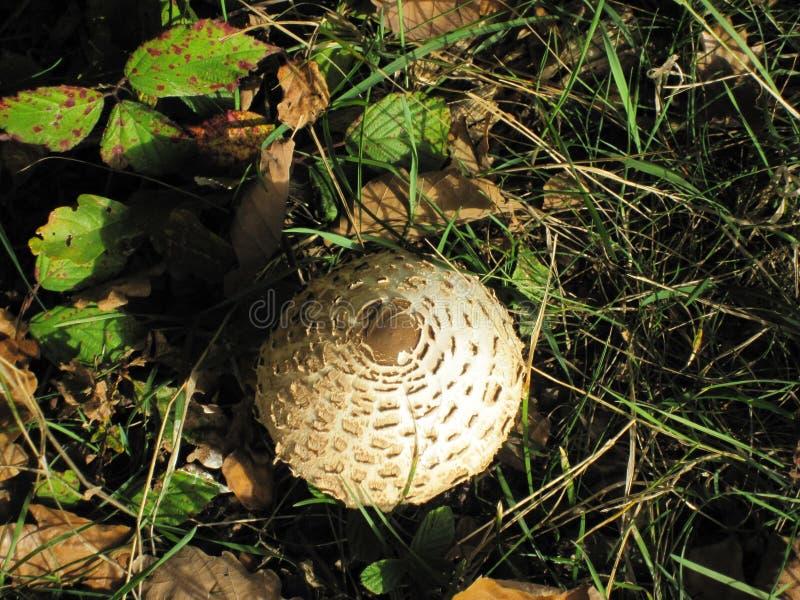 Un champignon de parasol dans une forêt allemande image libre de droits