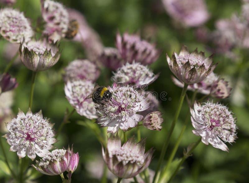 Un chantier gaffent l'abeille sur un Astrantia photos stock