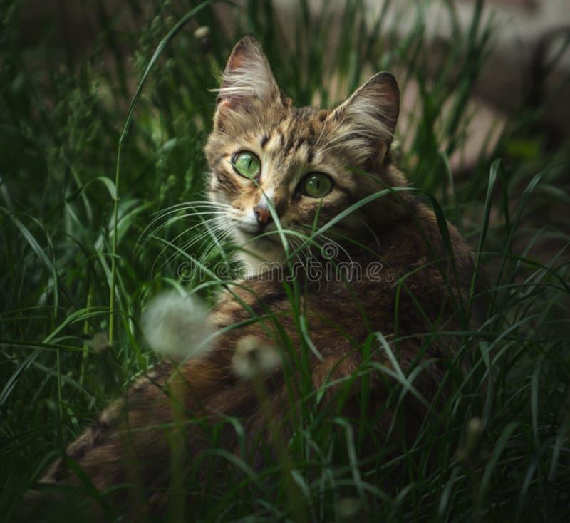 Un chat avec les yeux verts aux tours d'herbe photo libre de droits