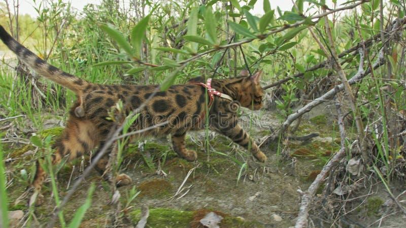Un chat Bengale marche sur l'herbe verte Le minou du Bengale apprend à marcher le long des essais asiatiques de chat de léopard d photo libre de droits