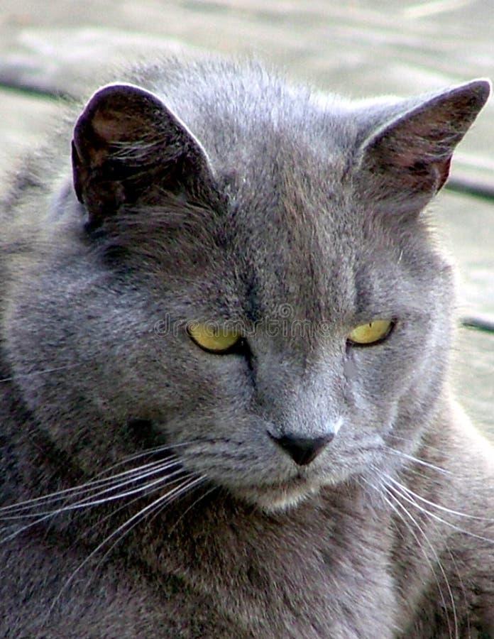 Un chat bleu russe de vieillissement photos libres de droits
