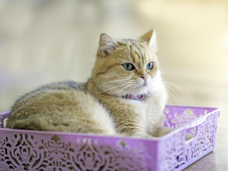 Un chat brun se repose heureusement dans un panier pourpre dans la chambre images libres de droits