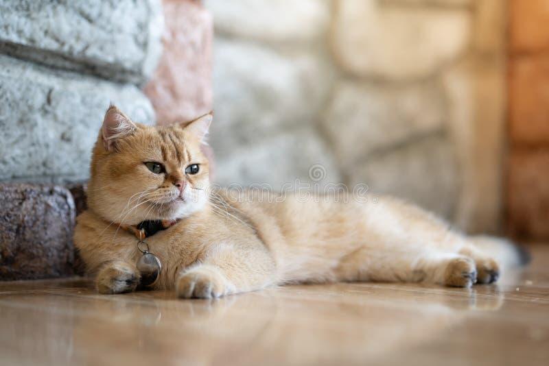 Un chat brun se repose heureusement sur le plancher dans la chambre image stock