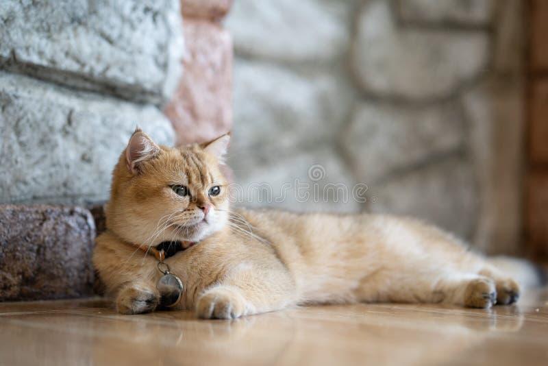 Un chat brun se repose heureusement sur le plancher dans la chambre photos libres de droits