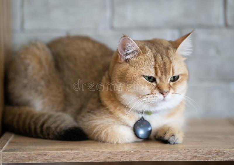 Un chat brun se repose heureusement sur le plancher dans la chambre images libres de droits