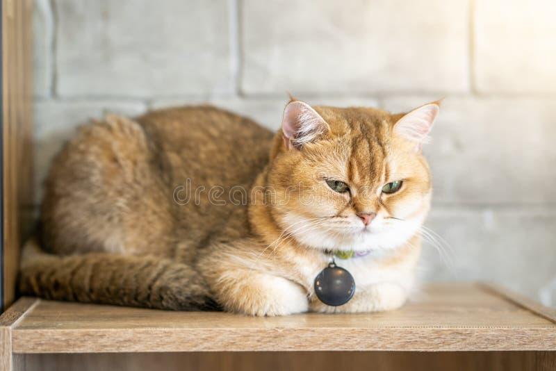 Un chat brun se repose heureusement sur le plancher dans la chambre photo libre de droits