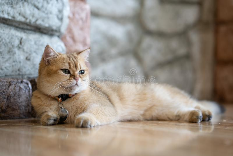 Un chat brun se repose heureusement sur le plancher dans la chambre images stock