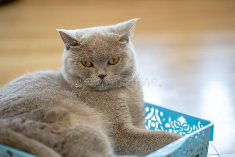 Un chat brun se repose heureusement sur le plancher dans la chambre photos stock