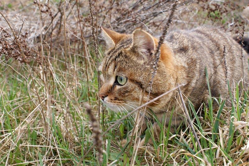 Un chat de chasse images libres de droits