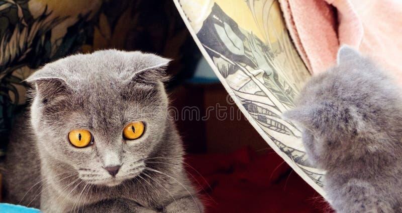 un chat de shorthair des anglais image libre de droits