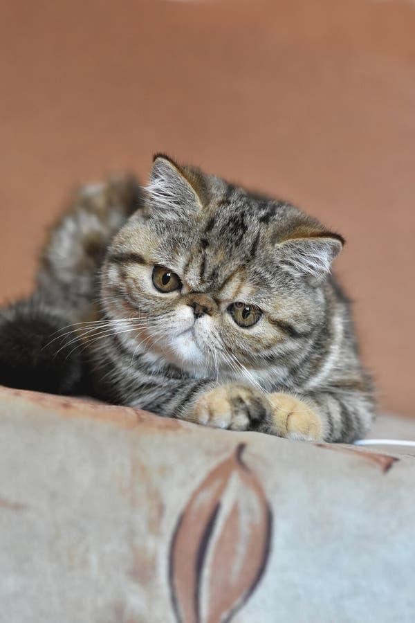 Un chat exotique brun de Shorthair se trouve sur le divan et regarde vers le bas photos stock