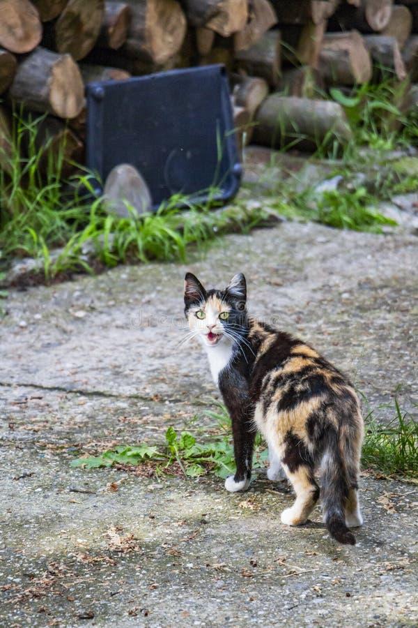 Un chat femelle tricolore miaule près du bois de chauffage empilé photographie stock
