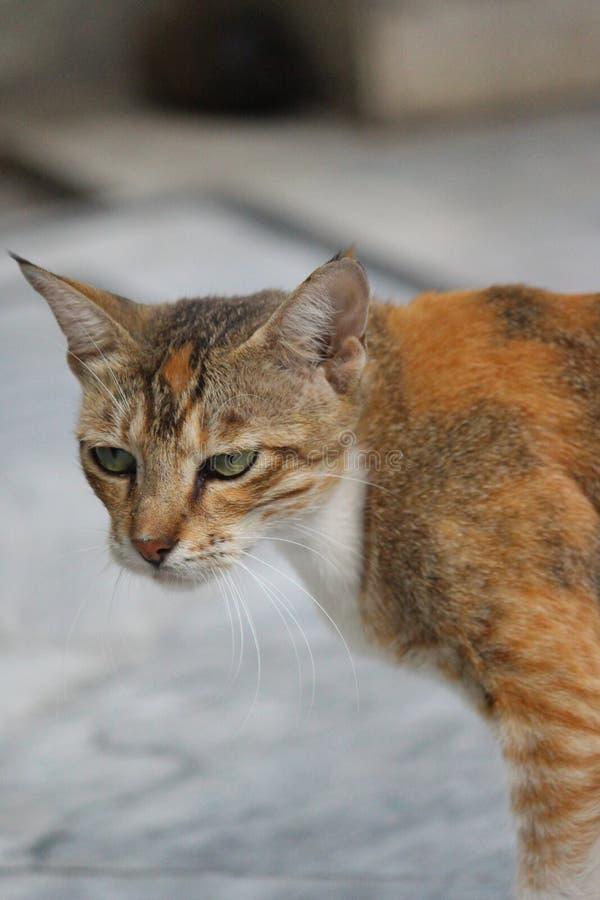 Un chat grincheux et mignon photographie stock libre de droits