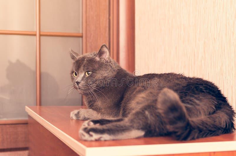 Un chat gris se trouve sur la raboteuse photos stock
