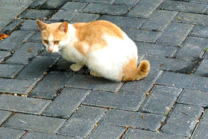 Un chat jaune et blanc vigilant photographie stock