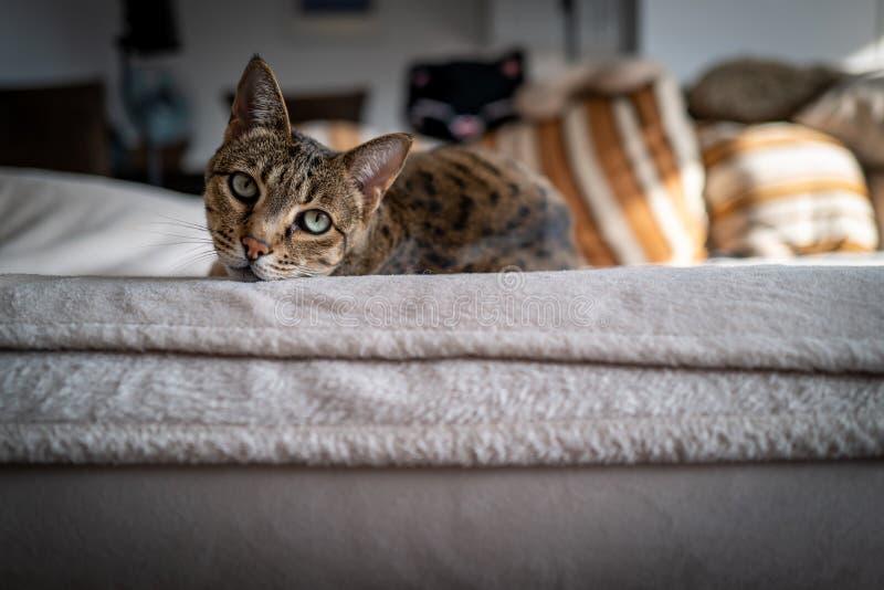 Un chat mignon de la savane sur un divan images stock