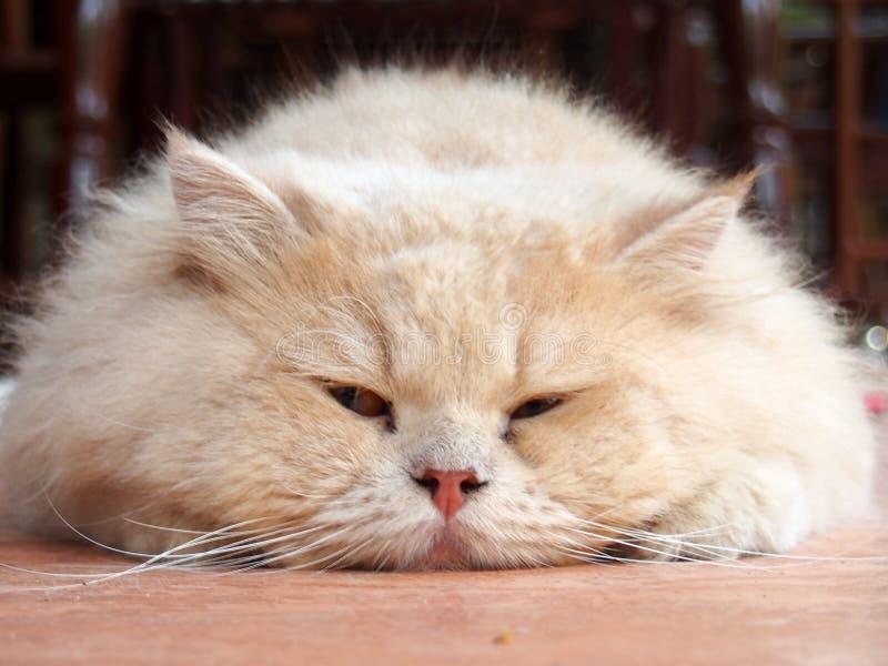 Un chat persan photo libre de droits