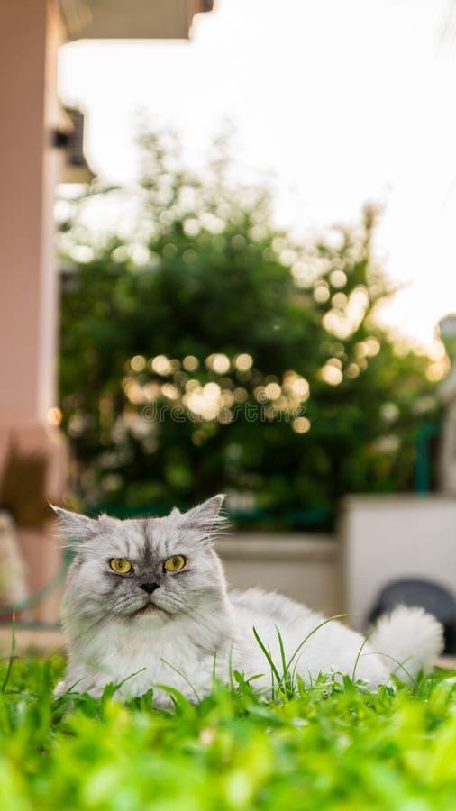 Un chat persan blanc de longs cheveux regardant l'appareil-photo avec les yeux jaunes photographie stock