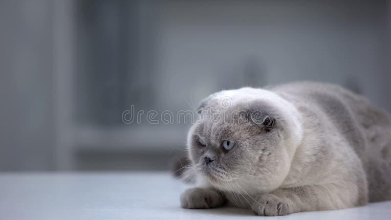 Un chat plié écossais allongé sur la table à la maison, se préparant à sauter, à la recherche de nourriture images stock