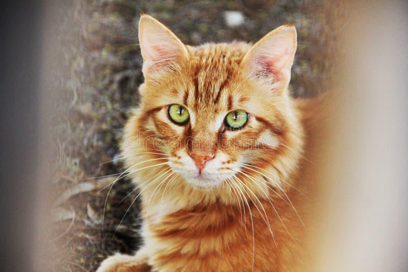 Un chat rouge image libre de droits