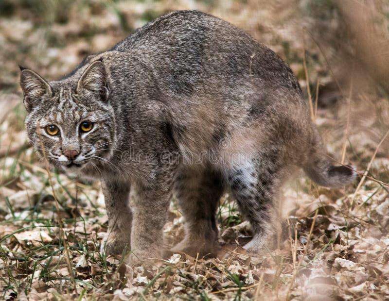 Un chat sauvage sur le vagabondage photos libres de droits