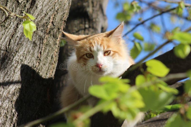 Un chat sur l'arbre chasse et attend des oiseaux à chasser dans Petrich image libre de droits