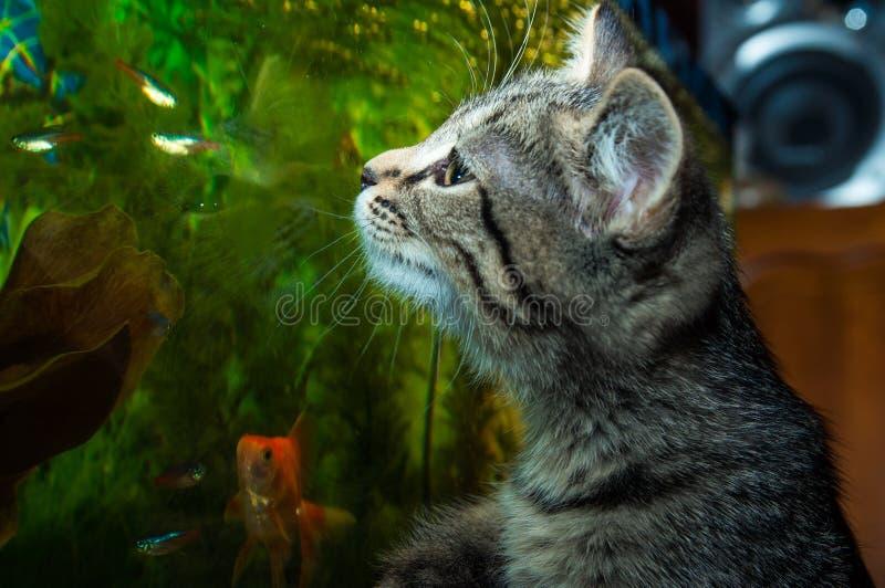 Un chaton observe des poissons dans un aquarium photo stock