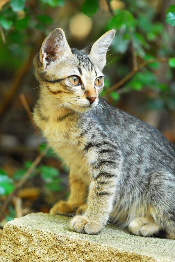 Un chaton réglé d'oreille se repose sur une roche image stock