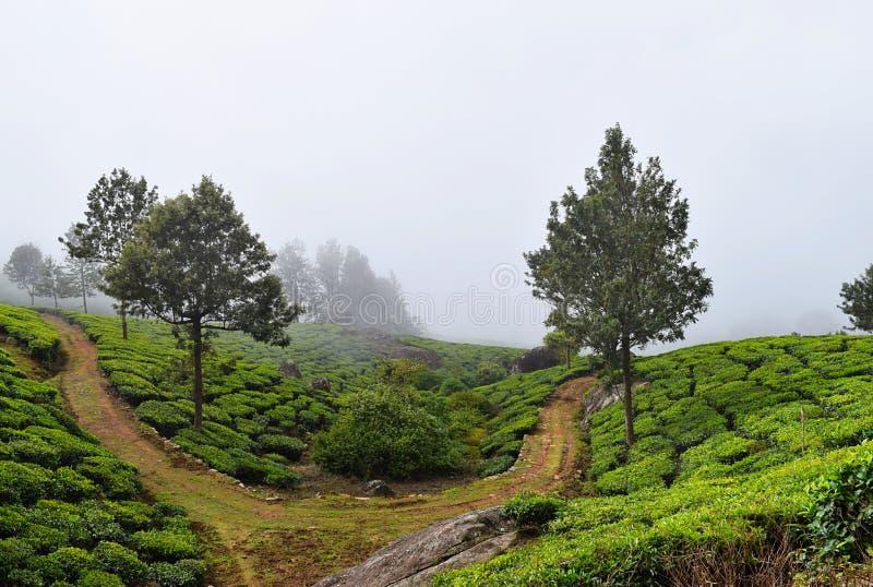 Un chemin cru à travers la plantation de thé avec les chênes argentés sur des collines dans Munnar, Kerala, Inde - un paysage ver photographie stock libre de droits