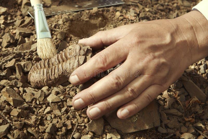 Un chercheur plus âgé prennent le fossile de trilobite sur l'emplacement rocheux photos libres de droits