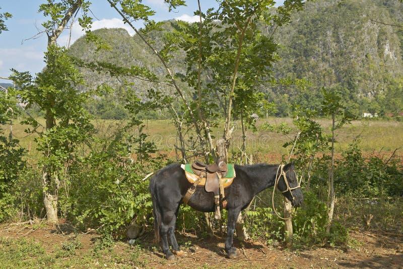 Un cheval attaché à un arbre dans les bières anglaises de ½ de ¿ de Valle de Viï, au Cuba central photo libre de droits