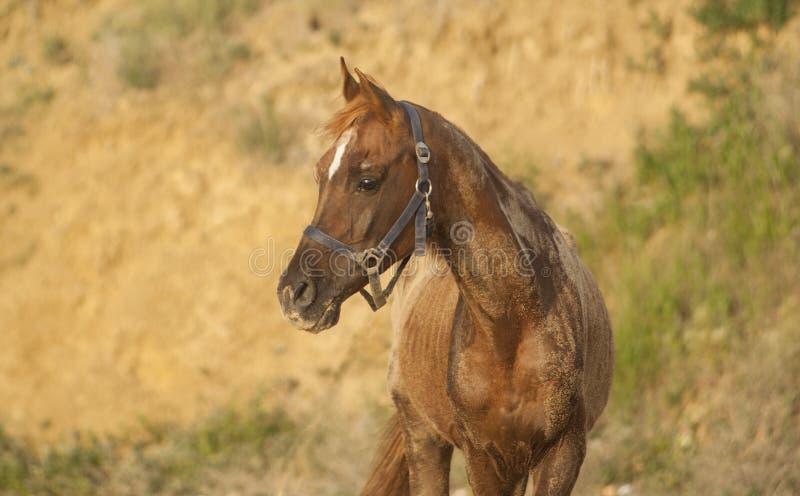 Un cheval avec une tache blanche sur sa tête images libres de droits