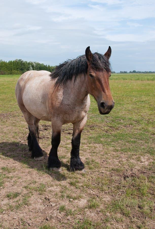 Un cheval belge puissant images libres de droits