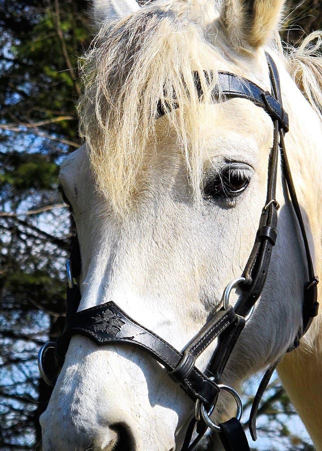 Un cheval blanc photo stock