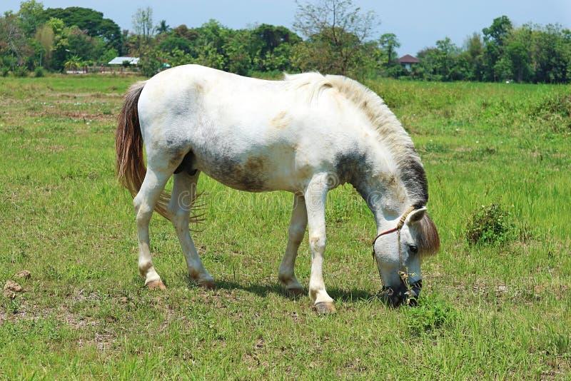 Un cheval blanc frôlant dans un pré photos stock