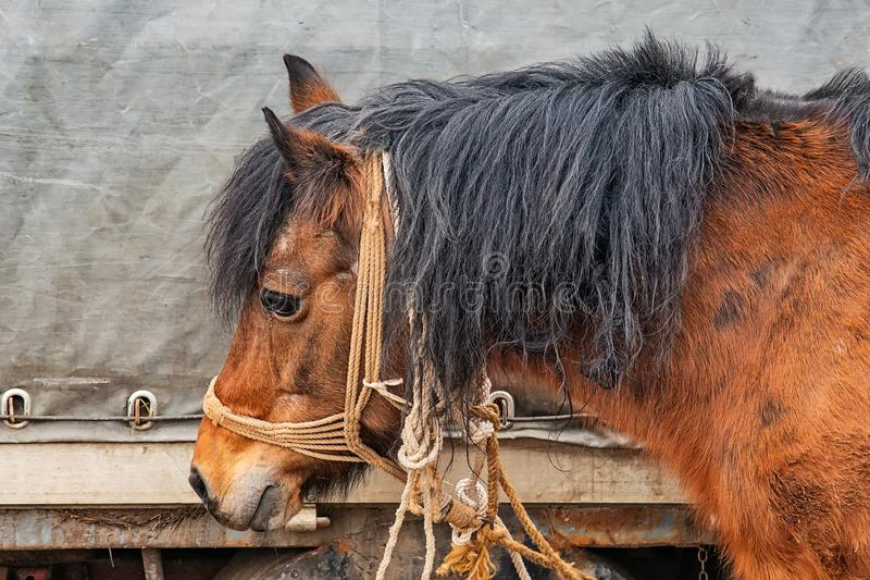 Un cheval brun sale attaché à un camion photo stock
