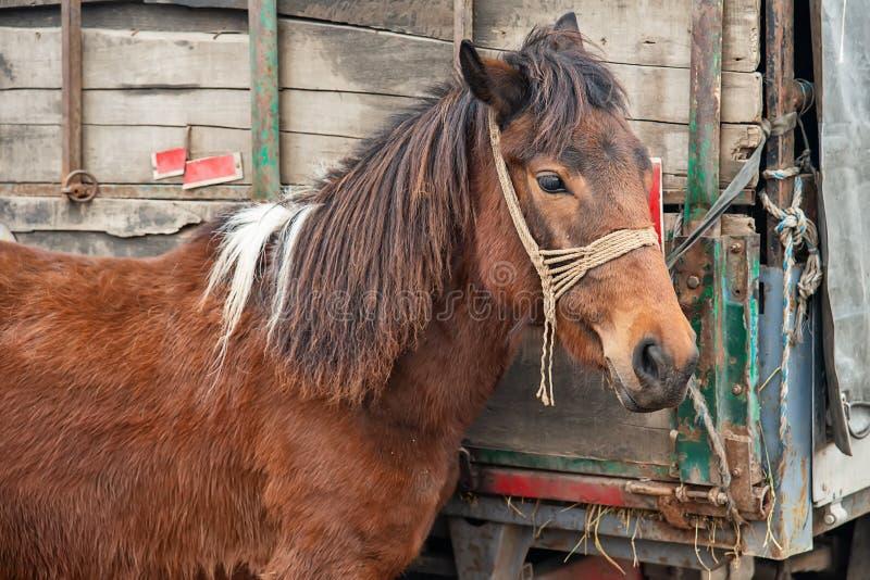 Un cheval brun sale attaché à un camion image stock