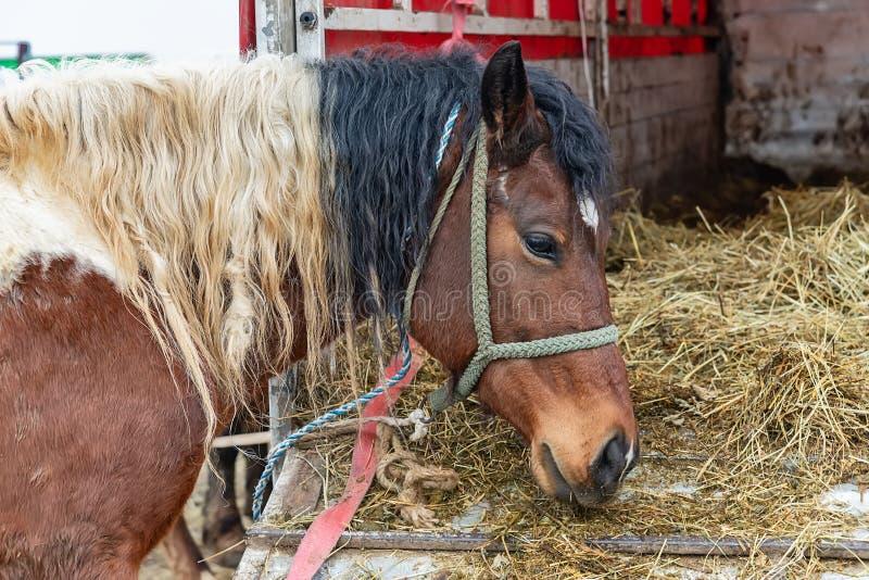 Un cheval brun sale attaché à un cheval brun de truckA mangeant d'un camion en captivité photographie stock