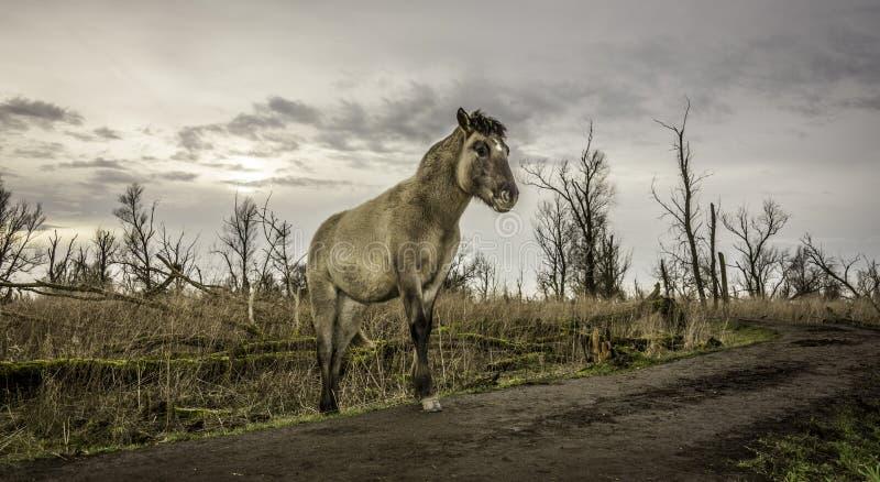 Un cheval de yound marchant autour dans la terre en friche d'hiver. photo stock