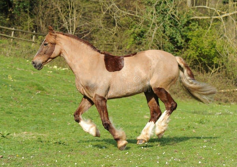 Un cheval fonctionnant dans le domaine photographie stock