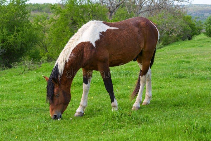 Un cheval frôlant sur un pré vert de montagne en montagne de Strandzha, Bulgarie photos stock