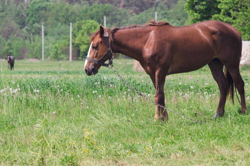 Un cheval frôle photographie stock