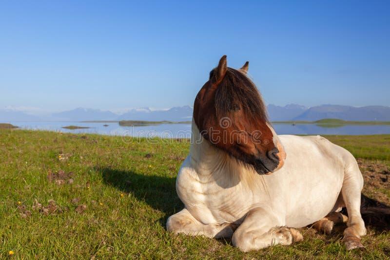 Un cheval islandais reposant dans un champ du nord de l'Islande photographie stock libre de droits